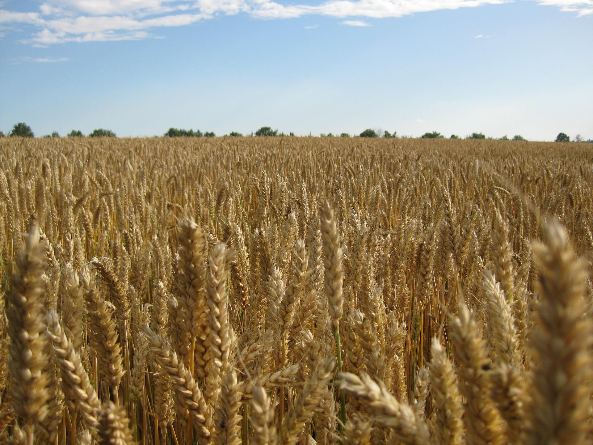 Tous les épis de blé ont presque la même hauteur. Aucun ne dépasse vraiment