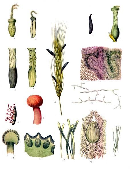 Planche des différentes formes d'ergot de seigle issue de Köhler's Medizinal Pflanzen