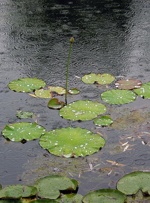 Feuilles de lotus sous la pluie qui reste en gouttes à leur surface