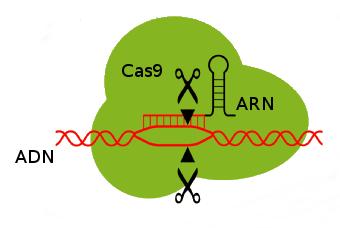La protéine Cas9 à l'action. L'ARN sert de guide pour trouver la séquence ADN qui sera coupée. A partir d'un schéma de Pflanzenforschung.de (CC BY SA)